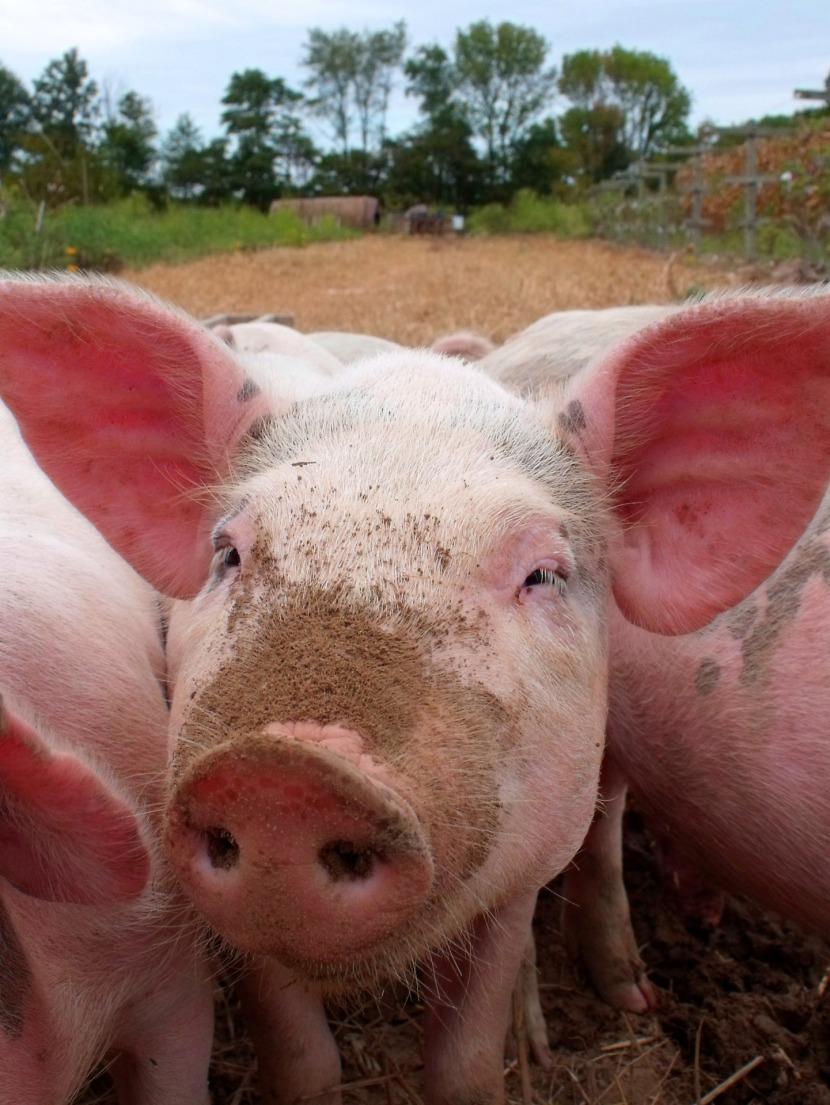 Swine Stock Show
